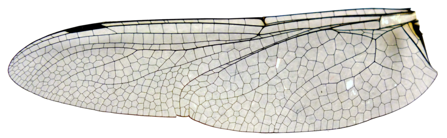 large_dragonfly_wing_stock__cut_out___png_by_imthinkingoutloud-d5oy8qs