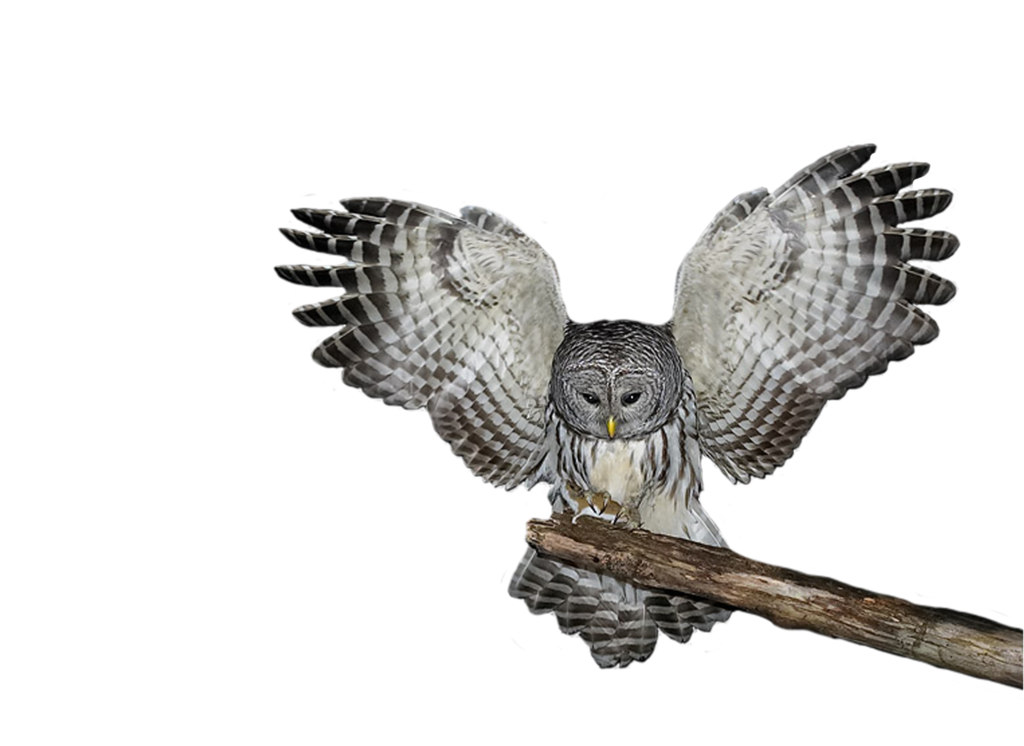 png_owl_by_moonglowlilly-d5n4q3l